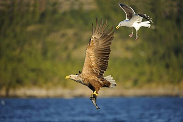 White-tailed Eagle or Sea eagle (Haliaeetus albicilla) in flight with prey, badgered by a Great Black-backed Gull (Larus marinus) behind, Flatanger, Nordtrondelag, Norway, Scandinavia, Europe