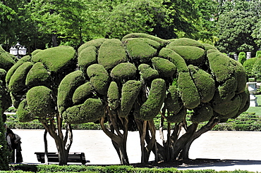 Mediterranean Cypress (Cupressus sempervirens), Parque del Retiro park, Madrid, Spain, Europe