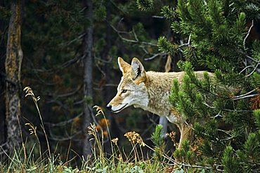 Coyote, Yellowstone National Park, Wyoming, United States of America