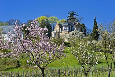 Almond tree blossom with Villa Emilienruhe mansion, Bad Bergzabern, Deutsche Weinstrasse, German Wine Road, Pfalz, Rhineland-Palatinate, Germany, Europe