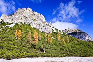 Autumn-coloured Larch (Larix) trees on a hillside in Fanes-Senes Nature Park in Alta Pusteria above Pederue, Dolomites, Alto Adige, Italy, Europe