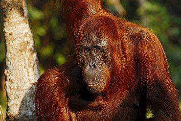 Bornean Orangutan (Pongo pygmaeus) in Tanjung Puting National Park, Central Kalimantan, Borneo, Indonesia, Asia