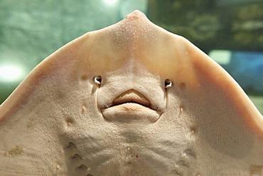Ray (Batoidea), Aquarium Exploris, Portaferry, County Down, Northern Ireland, Ireland, United Kingdom, Europe