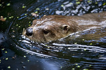Otter (Lutra lutra), Wildpark Edersee, North Hesse, Germany, Europe
