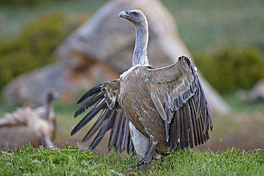 Griffon Vulture (Gyps fulvus), threatening, Pyrenees mountains, Spain, Europe
