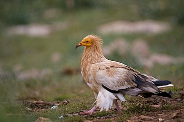 Egyptian Vulture (Neophron pernkopterus), Pyrenees mountains, Spain, Europe