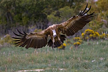 Griffon Vulture (Gyps fulvus) approaching, Pyrenees mountains, Spain, Europe