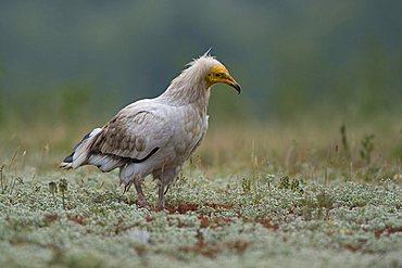 Egyptian vulture (Neophron pernkopterus), Rhodopes mountain, Bulgaria, Europe