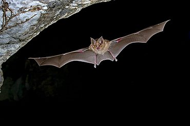 Greater Horseshoe Bat (Rhinolophus ferrumequinum) flying out of a cave, Sardinia, Italy, Europe