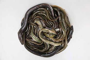 Eels caught in the Upper Elbe river near Winsen Luhe, Lower Saxony, Germany, Europe