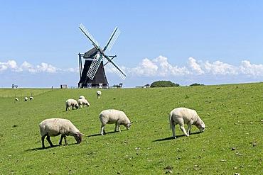 Sheep and Nordermuehle windmill, Pellworm, North Friesland, Schleswig-Holstein, Germany, Europe, PublicGround