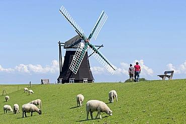 Nordermuehle windmill, sheep, walkers, Pellworm, North Friesland, Schleswig-Holstein, Germany, Europe, PublicGround