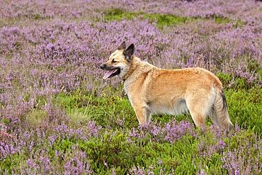 Sheepdog on the heath near Wilsede, Luneburg Heath, Lower Saxony, Germany