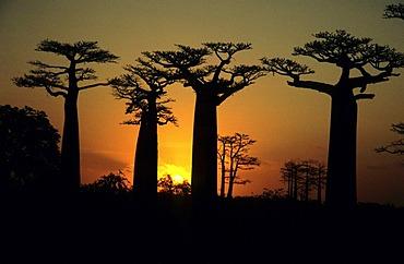 Alley of baobab trees (Adansonia digitata) at sunset, near Morondava in western Madagascar, Africa, Indian Ocean