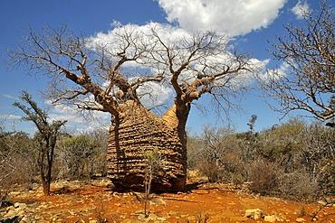 Baoba (Adansonia digitata), reputedly the oldest tree of Madagascar, Africa, Indian Ocean