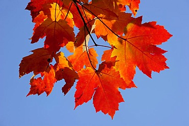 Autumnal red and yellow coloured maple leaves, Quebec, Canada