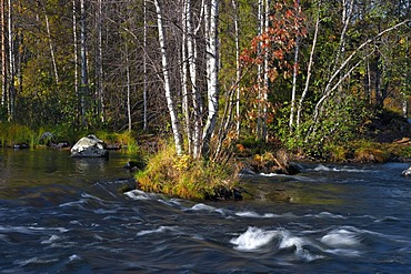 Birch trees (Betula) in autumn colours along Juumajarvi river, Finland, Europe