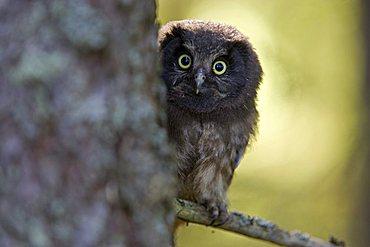 Young Tengmalm's Owl or Boreal Owl (Aegolius funereus), Finland, Europe
