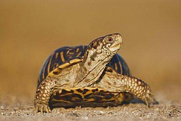 Ornate Box Turtle (Terrapene ornata), male, Sinton, Corpus Christi, Coastal Bend, Texas Coast, USA
