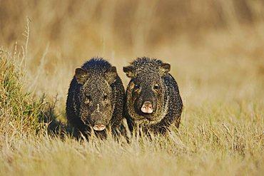 Collared Peccary, Javelina (Tayassu tajacu), pair, Sinton, Corpus Christi, Coastal Bend, Texas, USA