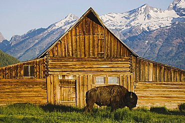 American Bison, Buffalo (Bison bison) adult in front of old wooden barn and Grand Teton Range, Antelope Flats, Grand Teton National Park, Wyoming, USA
