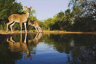 White-tailed Deer (Odocoileus virginianus), bucks drinking, Rio Grande Valley, Texas, USA
