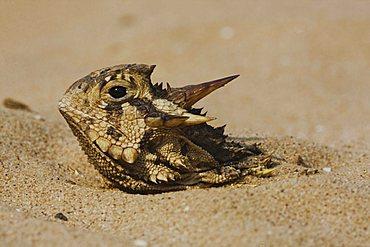 Texas Horned Lizard (Phrynosoma cornutum), adult hiding in sand, Rio Grande Valley, Texas, USA