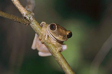 Treefrog (Hyla sp.), adult on branch, Rocklands, Montego Bay, Jamaica, Caribbean Island