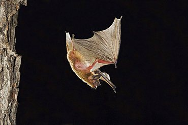Evening Bat (Nycticeius humeralis), adult in flight leaving Day roost in tree hole, Willacy County, Rio Grande Valley, Texas, USA