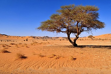 Acacia tree at In Tehak, Tadrart, Tassili n'Ajjer National Park, Unesco World Heritage Site, Algeria, Sahara, North Africa