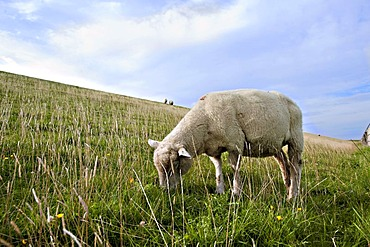 Sheep grazing on the dike in Westerhever, North Friesland, Schleswig-Holstein, Germany, Europe