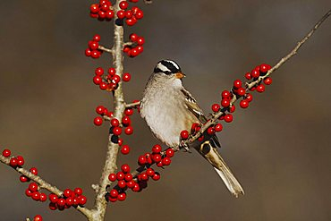 White-crowned Sparrow (Zonotrichia leucophrys), adult perched on Possum Haw Holly (Ilex decidua) berries, Bandera, Hill Country, Central Texas, USA
