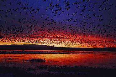 Snow Goose (Chen caerulescens), flock in flight at sunrise, Bosque del Apache National Wildlife Refuge, New Mexico, USA