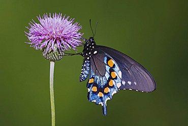 Pipevine Swallowtail (Battus philenor), adult feeding on texas thistle, Sinton, Corpus Christi, Texas, USA - 832-8091