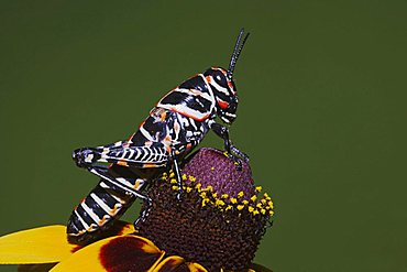 Painted Grasshopper (Dactylotum bicolor), adult on blooming Clasping-leaved Coneflower (Dracopis amplexicaulis), Sinton, Corpus Christi, Texas, USA