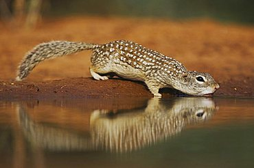 Mexican Ground Squirrel (Spermophilus mexicanus), adult drinking from pond, Starr County, Rio Grande Valley, Texas, USA