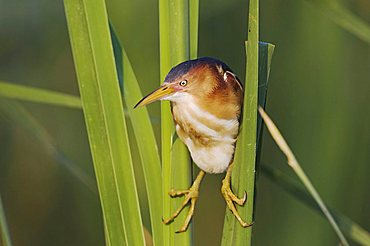 Least Bittern (Ixobrychus exilis), adult in cattails in wetland, Sinton, Corpus Christi, Texas, USA