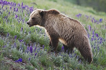 Grizzly Bear (Ursus arctos horribilis), adult in blooming Purple Fringe (Phacelia sericea) flowers, Yellowstone National Park, Wyoming, USA