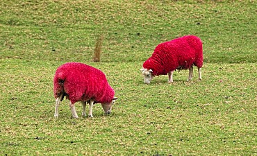 Sheep, died red for promotional purposes, eye-catcher by the roadside, Sheep World Farm and Nature Park, Warkworth, Highway 1, North Island, New Zealand