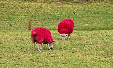 Sheep dyed red for promotional purposes, eye catcher at the roadside, Sheep World Farm and Nature Park, Highway 1, Warkworth, North Island, New Zealand