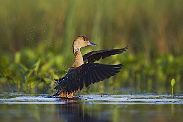 Fulvous Whistling-Duck (Dendrocygna bicolor), adult flapping wings in wetland, Sinton, Corpus Christi, Texas Coast, USA