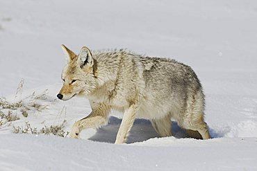 Coyote (Canis latrans), adult walking in snow, Yellowstone National Park, Wyoming, USA