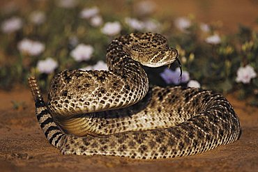 Western Diamondback Rattlesnake (Crotalus atrox), adult in defense pose among flowers in desert, Starr County, Rio Grande Valley, Texas, USA