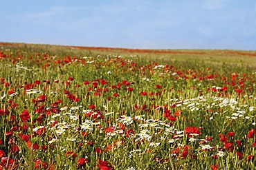Red poppies (Papaver rhoeas) and marguerites (Leucanthemum vulgare), Limburg, Hesse, Germany, Europe