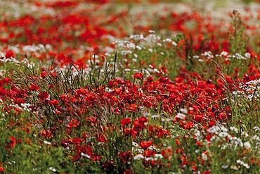 Red poppies (Papaver rhoeas) and marguerites (Leucanthemum vulgare), Limburg, Hesse, Gemany, Europe