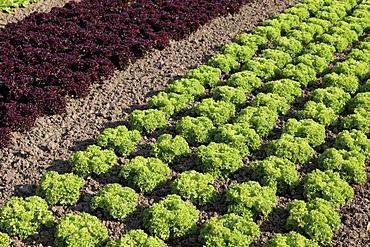 Lettuce growing, lettuce variety, lettuce patch, theme gardens, Bundesgartenschau, BUGA 2011, Federal Horticulture Show, Koblenz, Rhineland-Palatinate, Germany, Europe