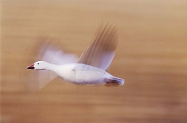 Snow Goose (Chen caerulescens), adult in flight, motion blur, Bosque del Apache National Wildlife Refuge, New Mexico, USA