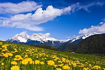 Dandelions in front of Latemargebirge, Latemar mountain range, Deutschnofen area, South Tyrol, Italy, Europe