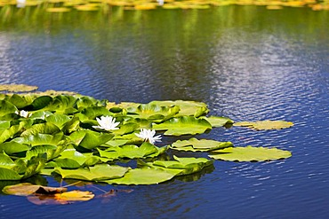 Waterlilies (Nymphaea) on a mountain lake