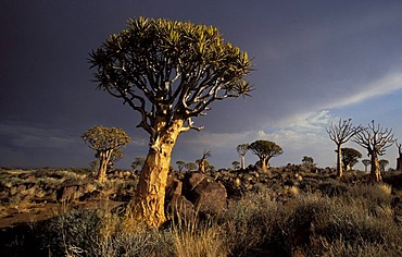 Quiver trees (Aloe dichotoma) with storm sky, Quiver Tree Forest, Keetmamshoop, Namibia, Africa
